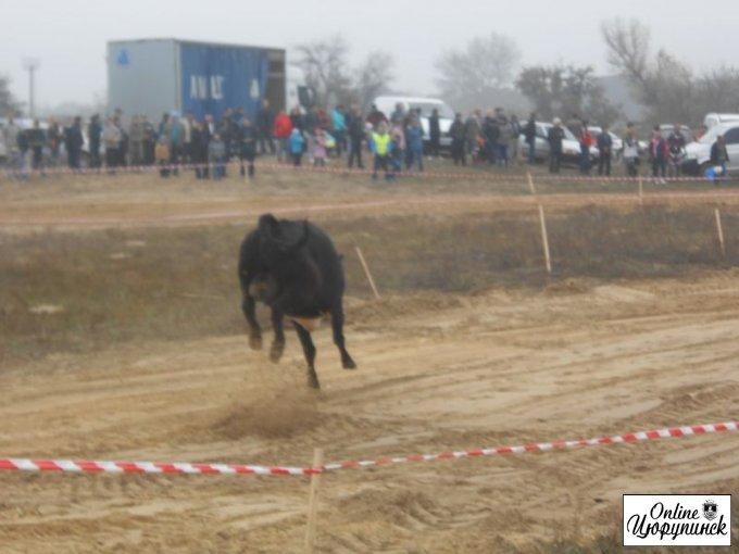 О том, как корова хотела превратить Цюрупинский мотокросс в родео (фото)
