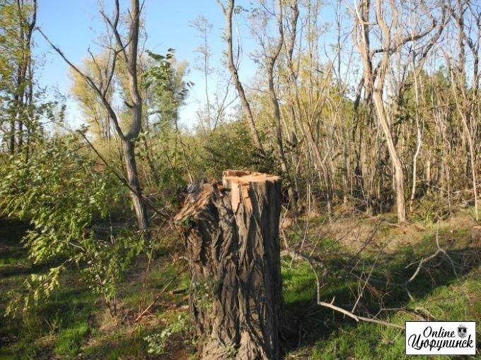 Реакция Цюрупинских лесников на публикацию о вырубке деревьев