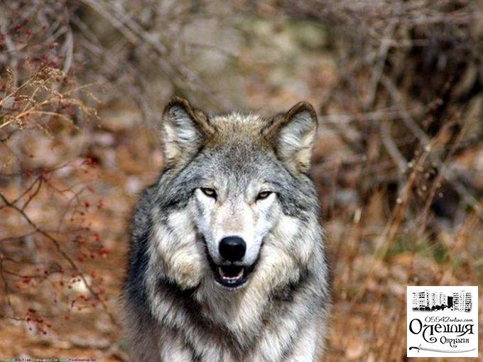 В Цюрупинском районе волки порезали овец на 80 тыс. грн.