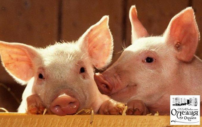 Африканська чума свиней: в зоні ризику приватний сектор