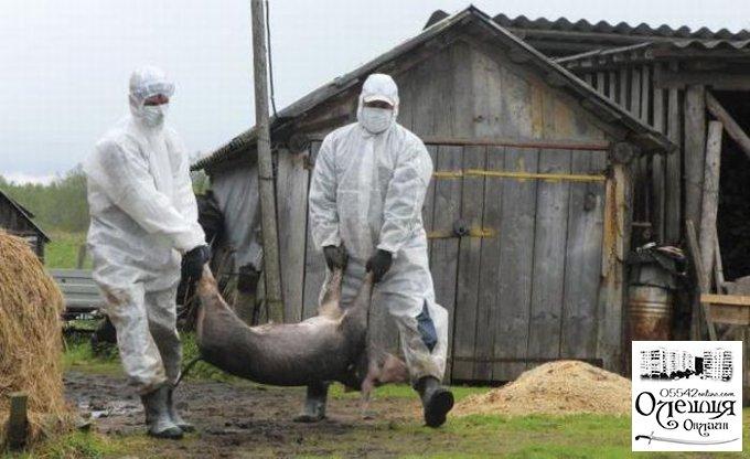 В Олешках виявлено африканську чуму