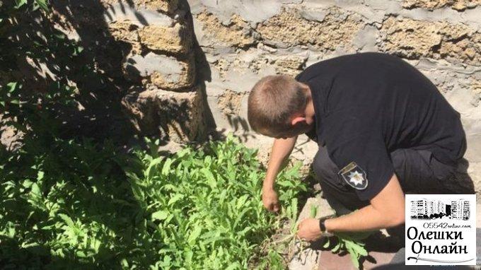 В Олешках изъяли более тысячи кустов опийного мака