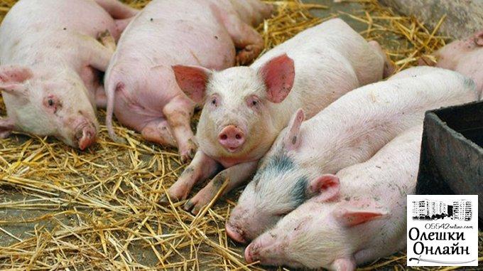 Обережно! В Олешках можливо захворювання свиней на АЧС
