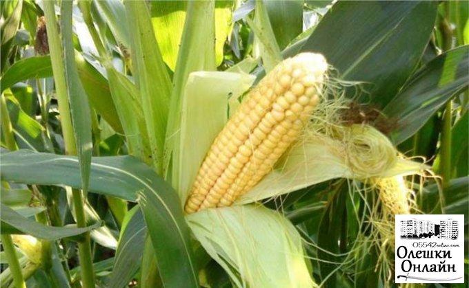 Кукурузных «халявщиков» разыскивают в Олешковском районе