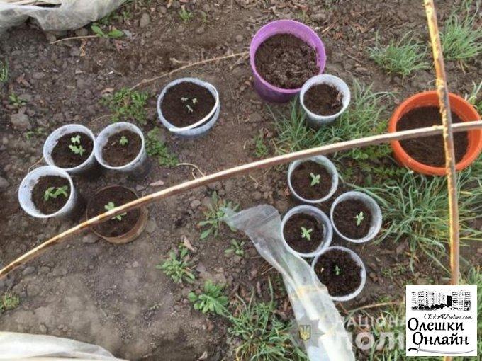 Олешковские полицейские обнаружили посев конопли
