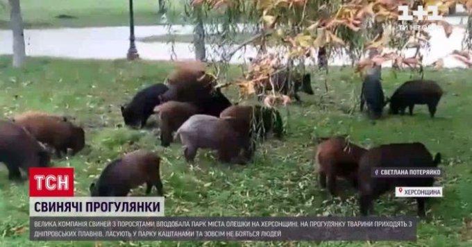 Олешківські свині стали відомі на всю країну (відео)