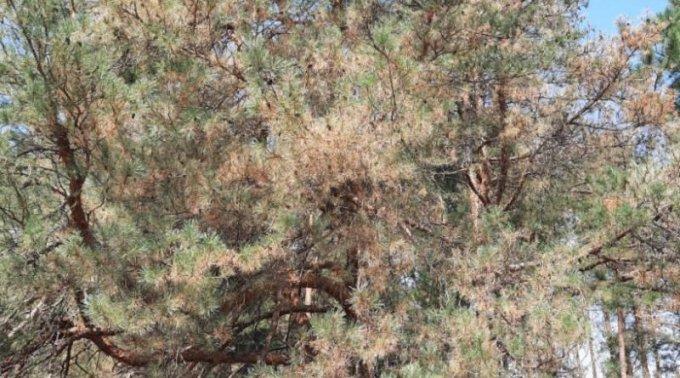 Лес под Олешками съедают гусеницы - денег на обработку нет